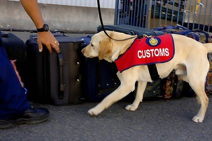 customs dog